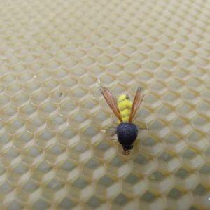 Дива Пчела
